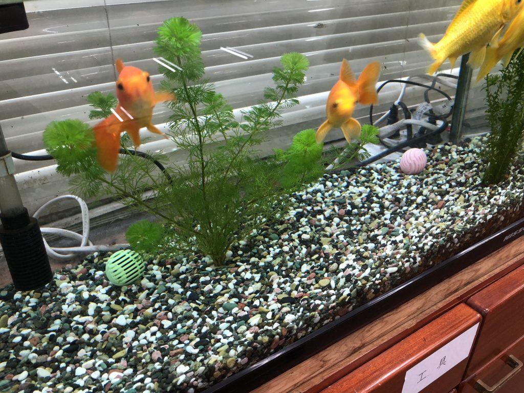 サンワールド 金魚